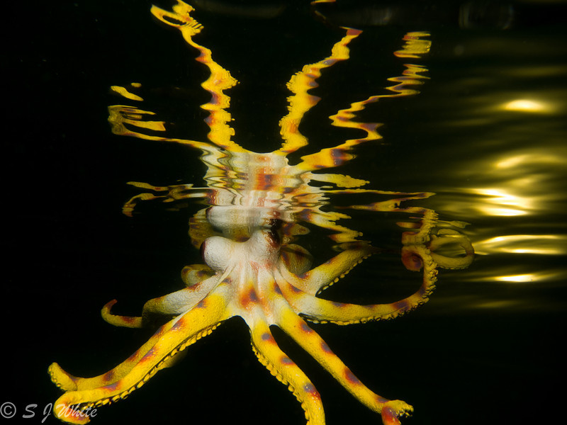 Plastic mimic octopus Maria Munn phot course