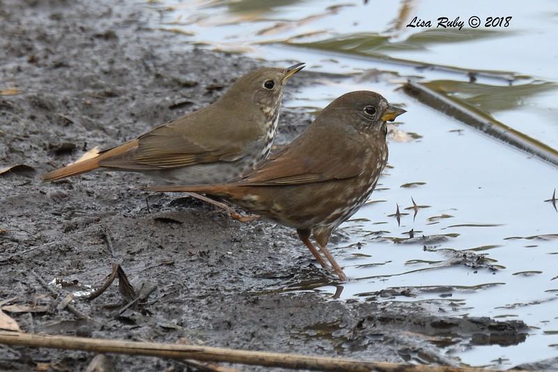 Hermit Thrush and Fox Sparrow - 1/7/2018 - Dos Picos County Park