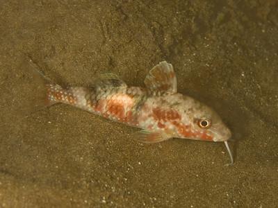 Mullidae (unidentified species)