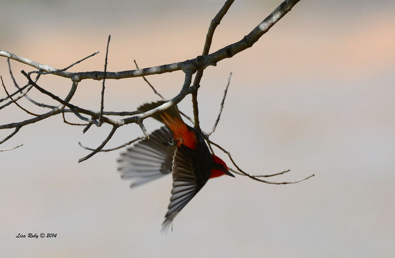 Vermilion Flycatcher - 2/7/2014 - Oak Hill Cemetary, Escondido