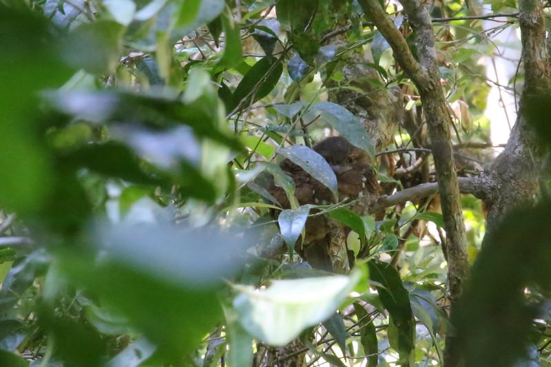 Sri Lanka Frogmouth (Batrachostomus moniliger)