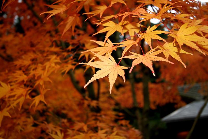 Portland Japanese Garden  11-11-11  3559.jpg