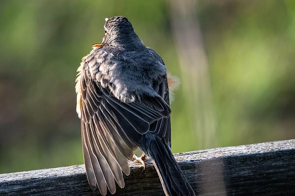 5-29-20 American Robin - Preening