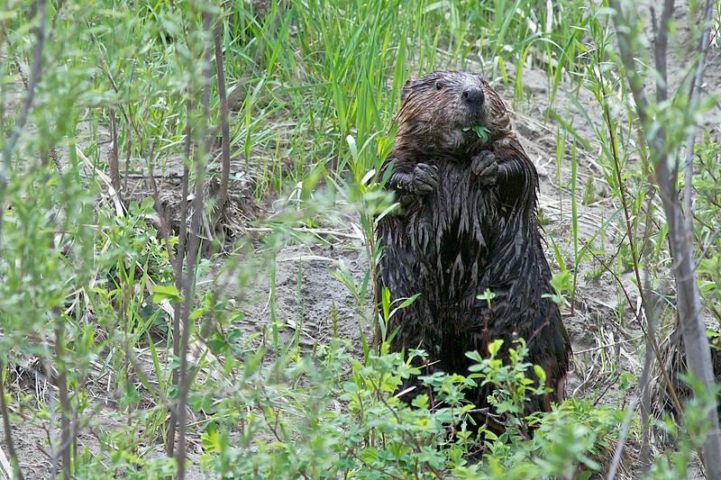 Beaver breakfast.jpg
