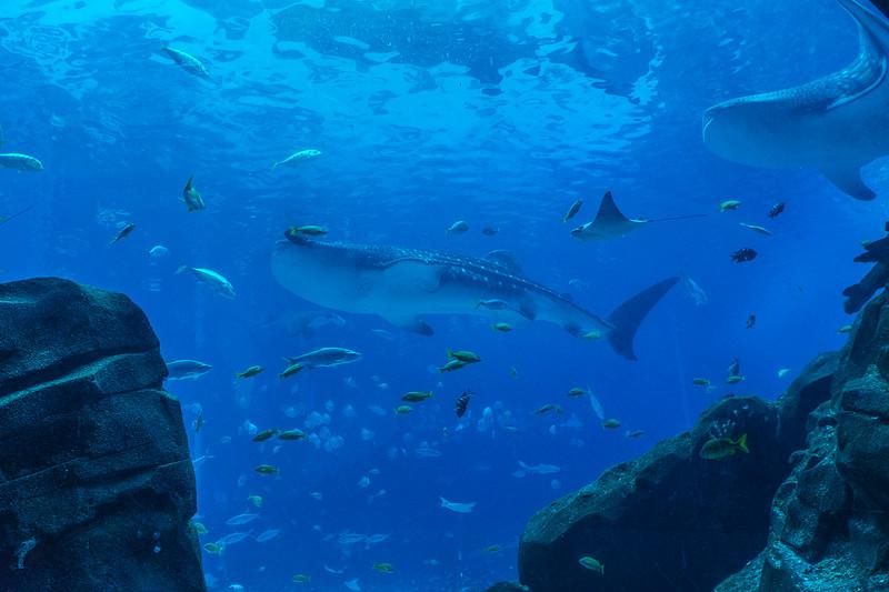 GA Aquarium with Linc, Ali & Abe-60.jpg