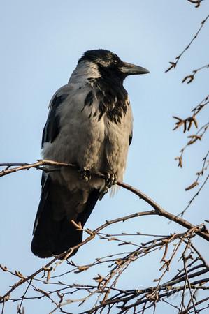 Gråkrage (Corvus corone cornix)