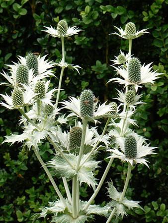 Eryngium giganteum 'Silver Ghost'.jpg