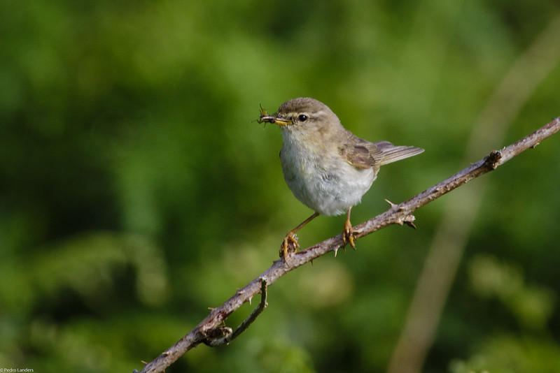 Willow Warbler with Fly