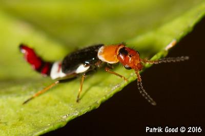 Crimson-tailed Flower Beetle