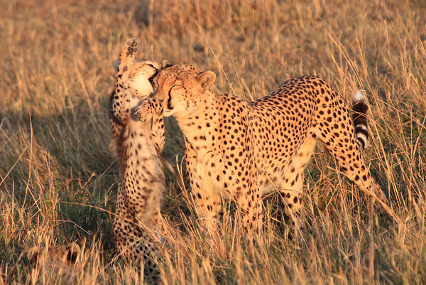 Cheetah Morning Hunt Mara Kenya 2012