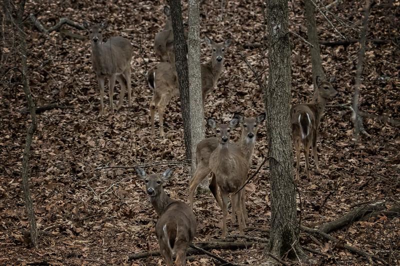 3.7.18 - Prairie Creek Recreation Area: Whitetail Deer