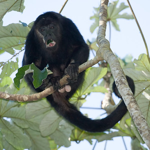 Howler, Spider and Woolly Monkeys