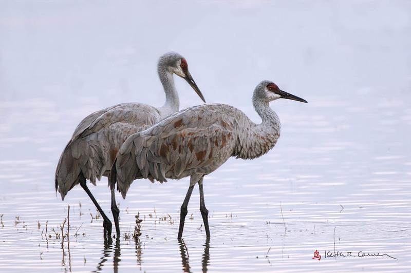 Sandhill Cranes, early morning light