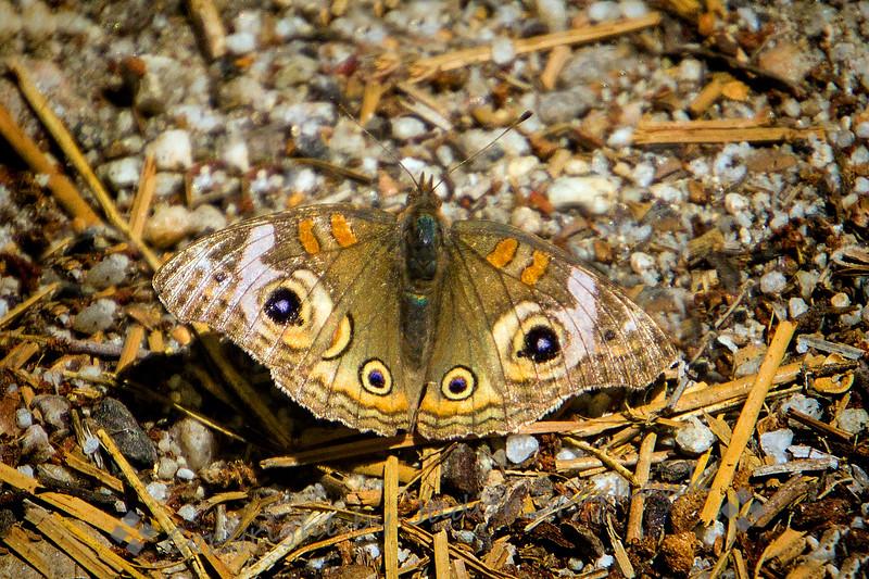 Buckeye Butterfly - Judith Sparhawk