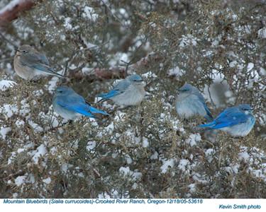 MountainBluebirds53618.jpg