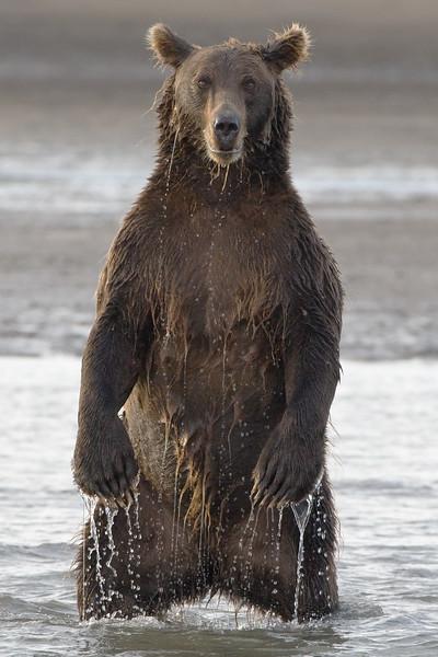 Bear Standing.jpg