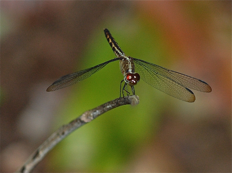 Dragonfly, Guyana (unidentified) 2011 ak