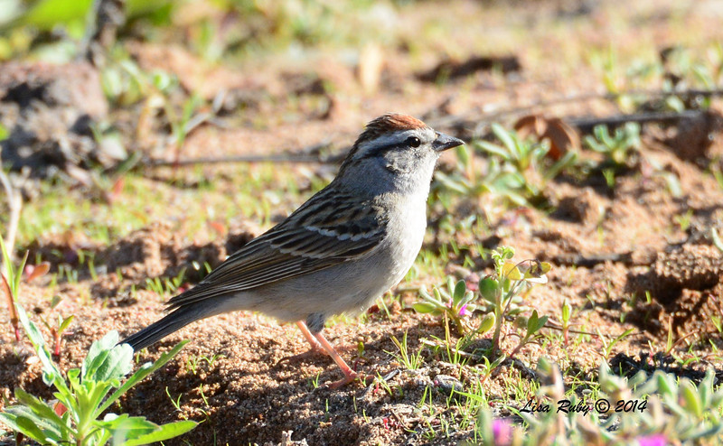 Chipping Sparrow - 3/30/14 - Lake Hodges,Lake Drive