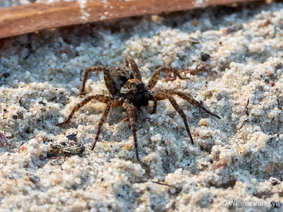 Wolf Spider (Lycosidae family)