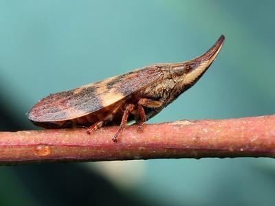 Aphrophoridae - Spittle Bugs
