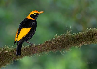 Regent Bowerbird (Sericulus chrysocephalus)
