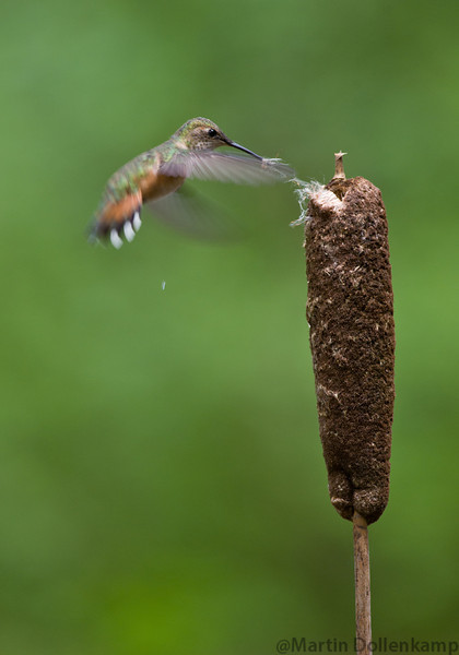 Rufous Hummingbird gathering nesting material