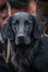 Flat Coated Retrievers March 17th 2018
