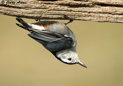 Nuthatch - White-breasted