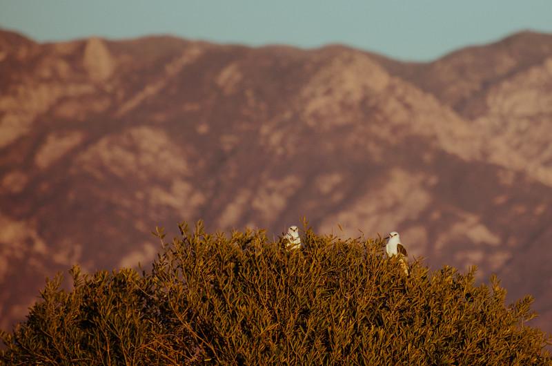 A pair of white-tailed kites at Ellwood Mesa in Goleta, CA.
