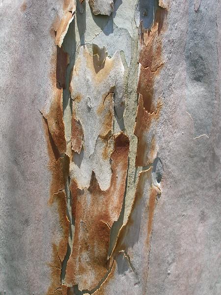 Eucalyptus Bark Colors