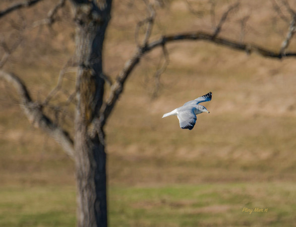 Gull  in flight NP_DWL4465.jpg