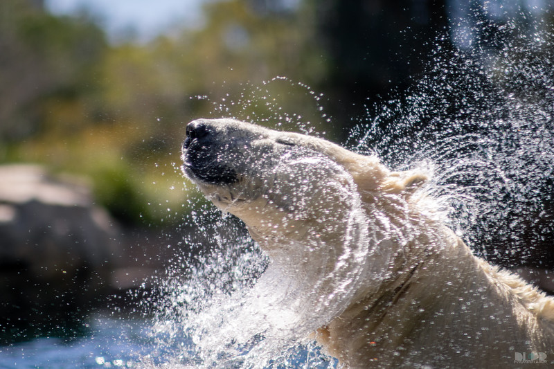 polar bear 004.jpg