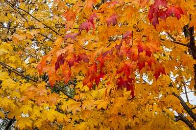 Maples in fall, Acer saccharum, sugar maple