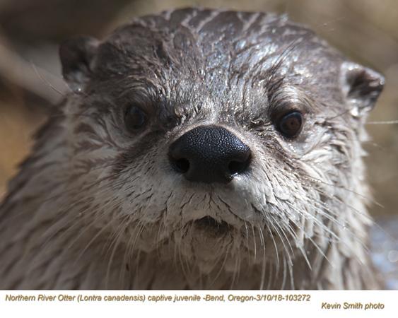 Northern River Otter AC103272.jpg