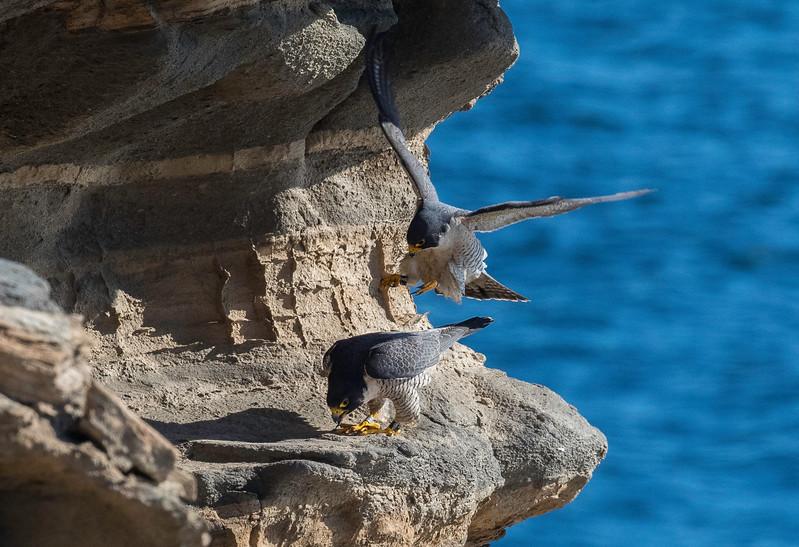 Falcons mating2.jpg