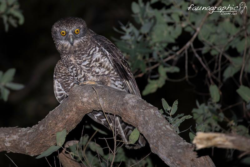 Male Powerful Owl