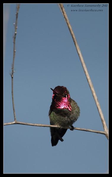 Anna's Hummingbird, La Jolla Cove, San Diego County, California, February 2011