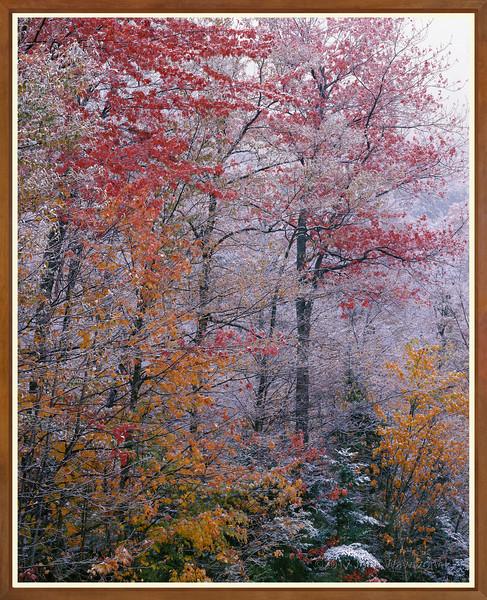 FALL TREES II