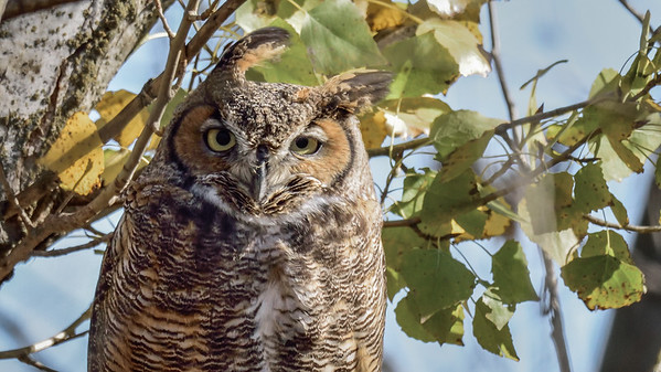 Photographing Great Horned Owl – Merced National Wildlife Refuge