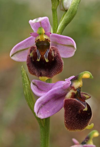 O. heterochila Cavus 29-3-08 (2).jpg