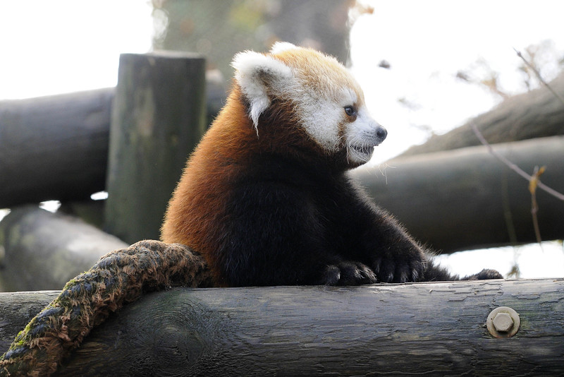 A red panda cub sits with a contemplative look at the Knoxville Zoo in Knoxville, TN on Tuesday, December 16, 2014. Copyright 2014 Jason Barnette