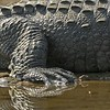 Feet of an Indian Marsh crocodile