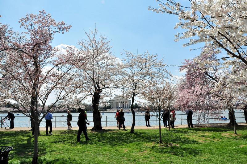 Cherry Blossoms 2014 115.jpg