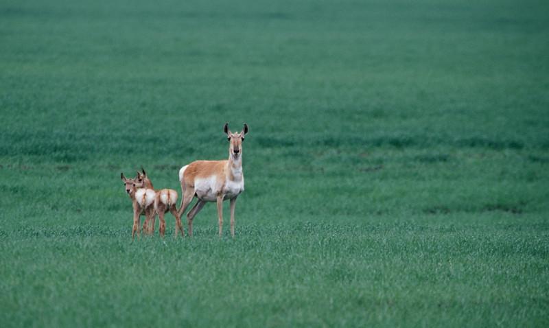 Ungulates (Deer, Bison, Moose, Antelope & Such)
