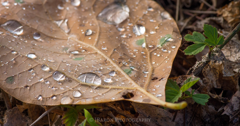 Early Morning Rain on a Leaf