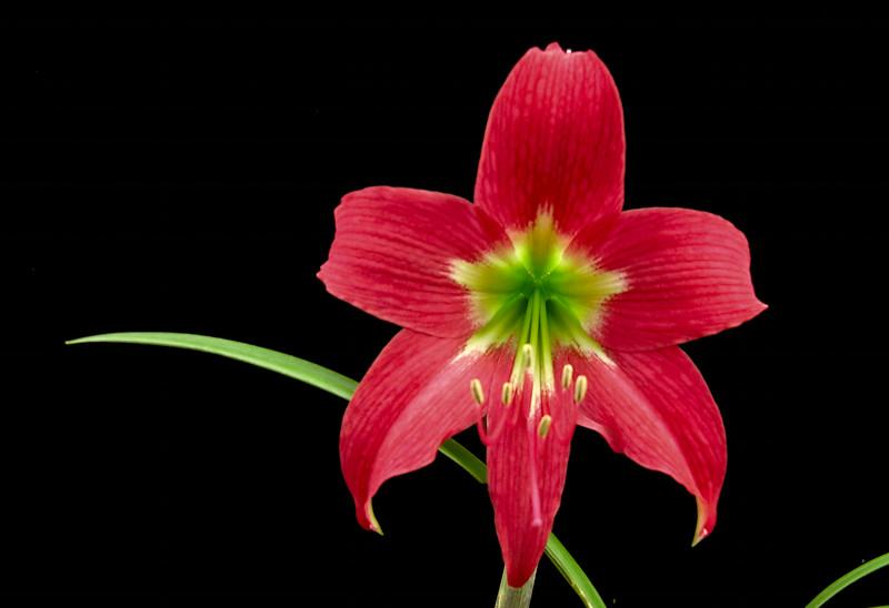 Rhodophiala rosea.jpg