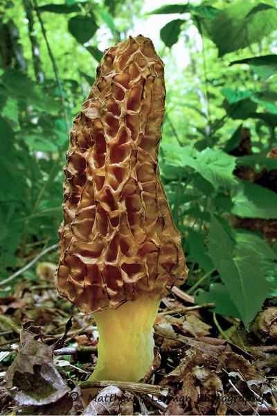 546 Morel Fungi Morchella_7900 LR.jpg