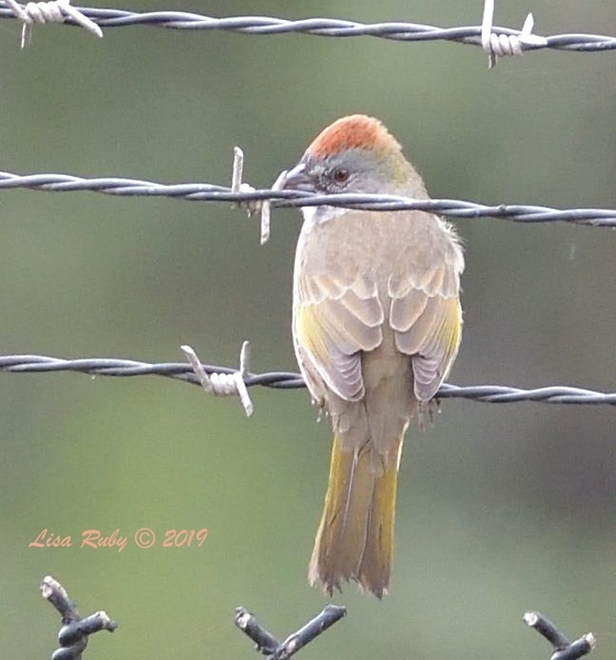 Green-tailed Towhee  - 9/27/2019 - Fort Rosecrans National Cemetery