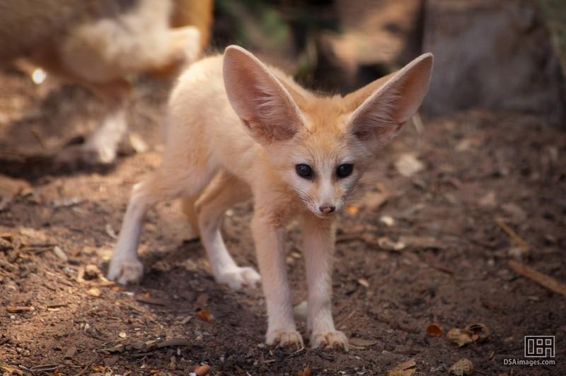 Fennec Fox kit (2.5 month old)