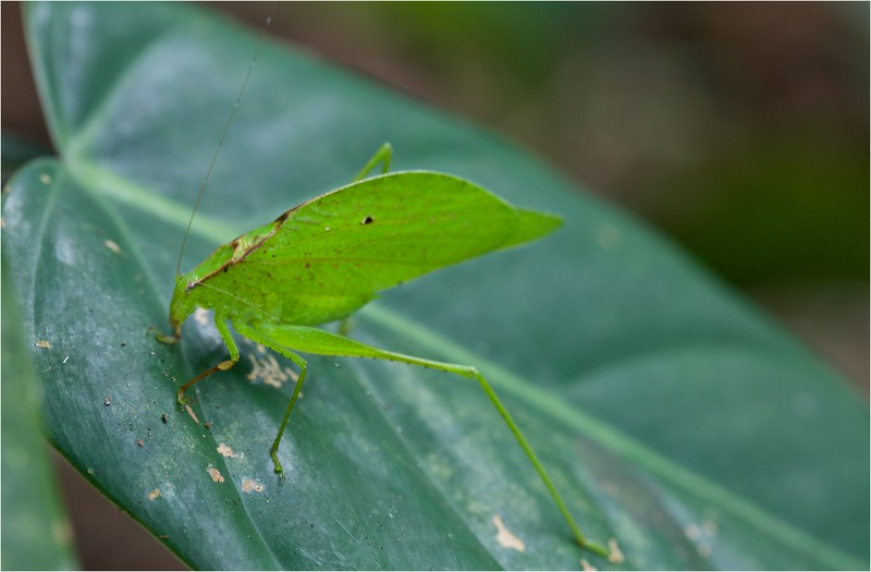 Green leaf-mimicking katydid (Orophus tesselatus) amongst ferns
